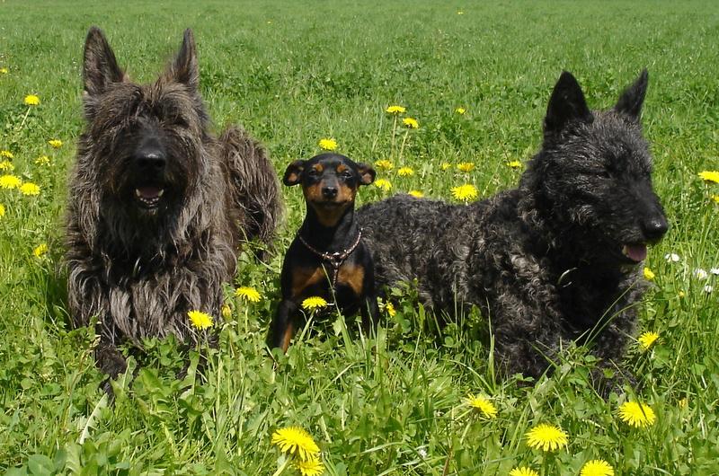 holländischer schäferhund züchter