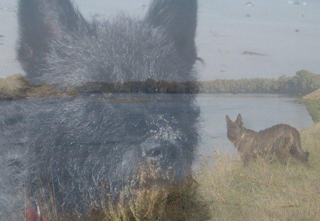 berger-picard-hollandse-herder-hollandischer-schaferhund-zwergpinscher-aloha-kakou-640